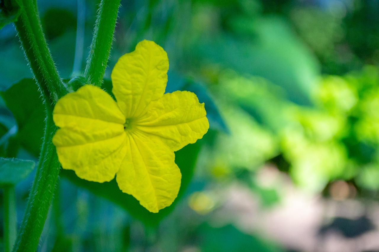Почему не цветут огурцы: 5 причин