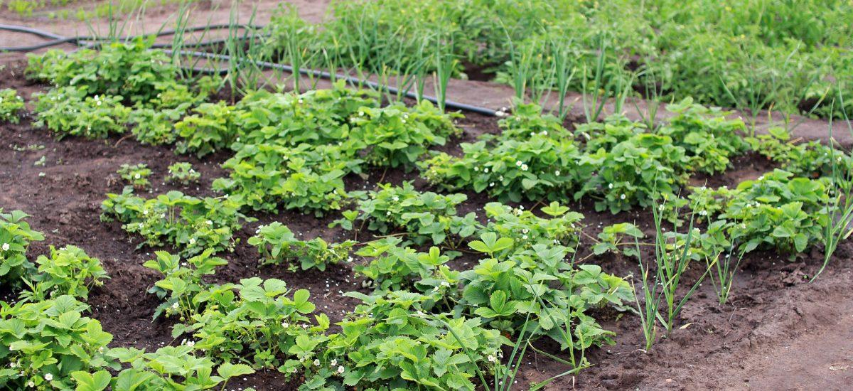 Что такое купорос и как его применять в огороде