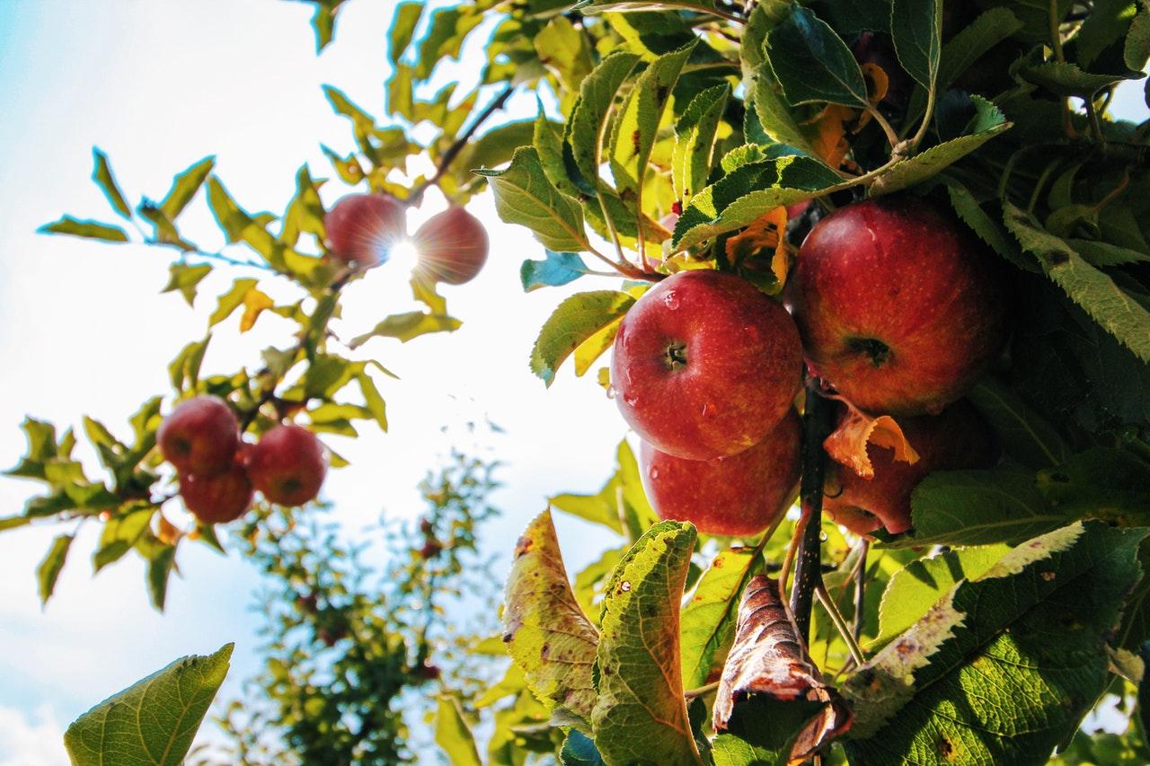 Как омолодить старые яблони в саду