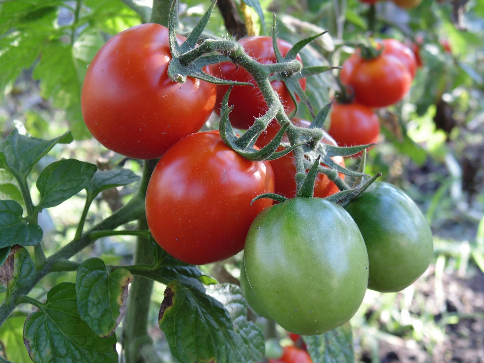 Что сажать рядом с помидорами в открытом грунте